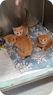 Domestic Shorthair Kitten for adoption in Danville, Indiana - Slinky, Kinky