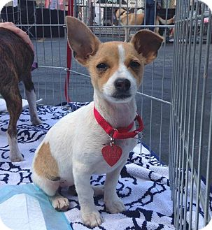 Chihuahua Mix Puppy for adoption in Los Angeles, California - AMELIE