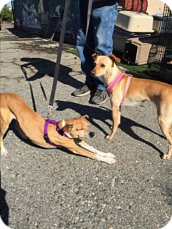 Whippet/Mixed Breed (Small) Mix Dog for adoption in Fallbrook, California - Eloise