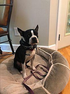 Boston Terrier Dog for adoption in Bowdon, Georgia - Nuggett
