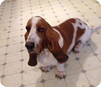 Basset Hound Dog for adoption in Grapevine, Texas - Bradley