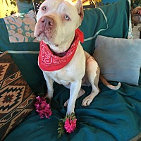 American Staffordshire Terrier Mix Dog for adoption in Toluca Lake, California - Maggie