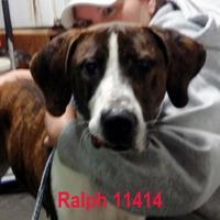 Adopt A Pet :: Ralph - Manassas, VA