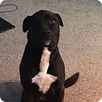 Labrador Retriever/Pit Bull Terrier Mix Dog for adoption in Lebanon, Tennessee - Lincon