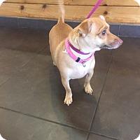 Chihuahua/Dachshund Mix Dog for adoption in Qualicum Beach, British Columbia - Hope