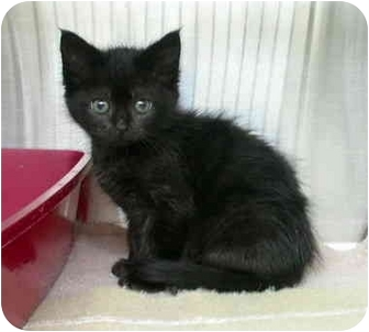 Domestic Shorthair Kitten for adoption in Saanichton, British Columbia - Darth