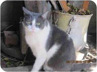 Domestic Shorthair Cat for adoption in Los Angeles, California - Leo