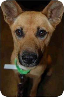 German Shepherd Dog/Carolina Dog Mix Dog for adoption in Atlanta, Georgia - Suzie