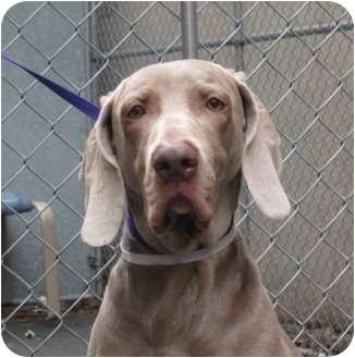 Weimaraner Dog for adoption in Long Beach, New York - Princess