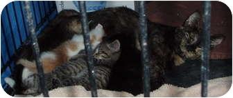 Domestic Shorthair Cat for adoption in Westfield, Massachusetts - Lulu