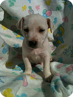 Pit Bull Terrier Mix Puppy for adoption in Hammond, Louisiana - Cairo