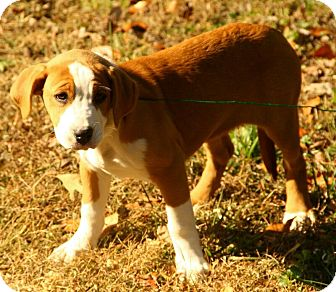 Boxer/American Bulldog Mix Puppy for adoption in Spring Valley, New York - Bella
