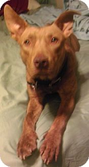 American Staffordshire Terrier Mix Dog for adoption in justin, Texas - Riley