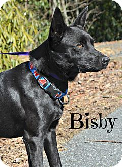 Labrador Retriever/Australian Cattle Dog Mix Dog for adoption in Spruce Pine, North Carolina - Brisby