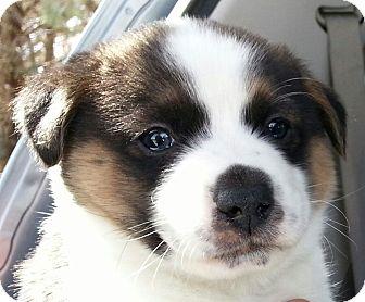 Border Collie/Golden Retriever Mix Puppy for adoption in Apple valley, California - Buddy