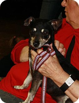 Chihuahua/Miniature Pinscher Mix Dog for adoption in Grand Rapids, Michigan - Midnight