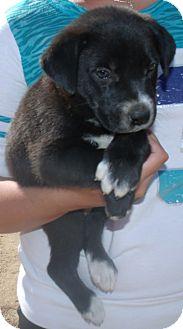 Labrador Retriever Mix Puppy for adoption in Corona, California - MUSTARD