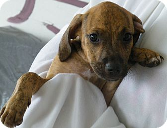 Black Mouth Cur Mix Puppy for adoption in Okeechobee, Florida - Tiger