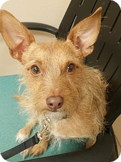 Wirehaired Fox Terrier Mix Dog for adoption in Las Vegas, Nevada - Buddy