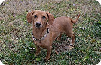 Dachshund/Miniature Pinscher Mix Dog for adoption in Decatur, Georgia - Seth