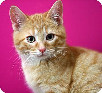 Domestic Shorthair Kitten for adoption in Royal Oak, Michigan - RORY