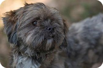 Lhasa Apso Mix Puppy for adoption in Tallahassee, Florida - Tasha - ADOPTED