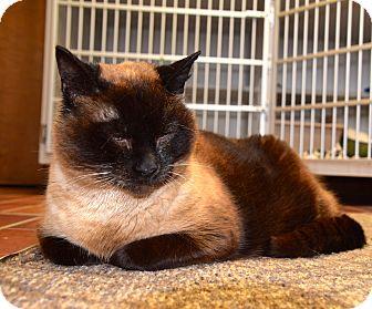 Siamese Cat for adoption in Des Moines, Iowa - Regina