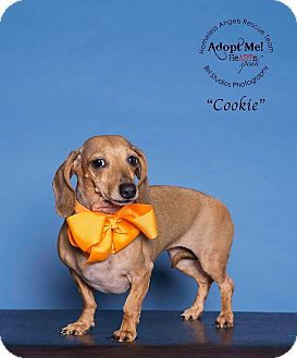 Dachshund Dog for adoption in Houston, Texas - Cookie