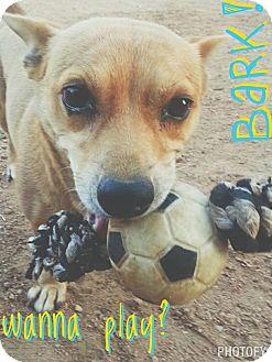 Corgi Mix Dog for adoption in Buchanan Dam, Texas - Maley