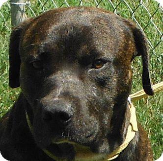 American Pit Bull Terrier/American Bulldog Mix Dog for adoption in Cedartown, Georgia - 29472771