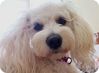 Bichon Frise/Miniature Poodle Mix Dog for adoption in Castro Valley, California - Kenzy