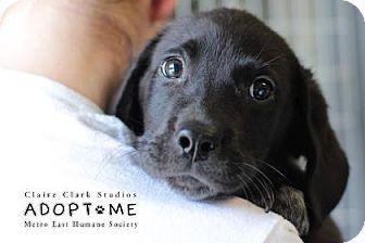 Labrador Retriever Mix Puppy for adoption in Edwardsville, Illinois - Cash