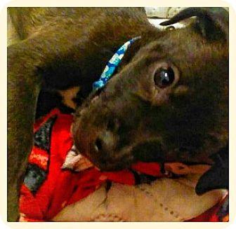 Labrador Retriever Mix Puppy for adoption in Battle Creek, Michigan - Pickles
