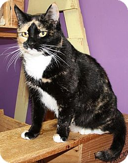 Domestic Shorthair Cat for adoption in Lovingston, Virginia - Ivy