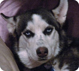 Siberian Husky Dog for adoption in Memphis, Tennessee - Mia
