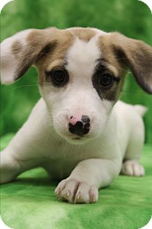 Jack Russell Terrier Mix Puppy for adoption in Staunton, Virginia - Lamb Chop