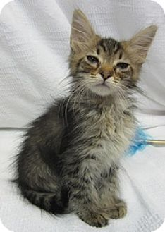 Domestic Mediumhair Kitten for adoption in Tallahassee, Florida - Dakota