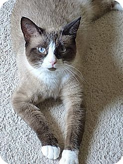 Snowshoe Cat for adoption in St. Louis, Missouri - Lily