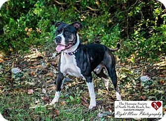 American Pit Bull Terrier/Pit Bull Terrier Mix Dog for adoption in North Myrtle Beach, South Carolina - Capone