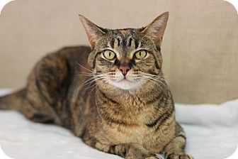 Domestic Shorthair Cat for adoption in Midland, Michigan - Missy - BARN