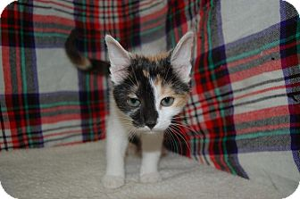 Calico Kitten for adoption in South Haven, Michigan - Daphne