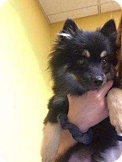 Pomeranian Puppy for adoption in Edmond, Oklahoma - Reese's (Adoption Pending)
