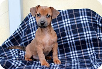 Dachshund/Chihuahua Mix Puppy for adoption in Los Angeles, California - Squiggy