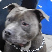 Adopt A Pet :: Dancer - Saginaw, MI
