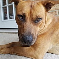 Adopt A Pet :: Honey - sanford, NC