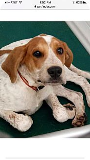 Hound (Unknown Type) Mix Puppy for adoption in Patterson, New York - Cash
