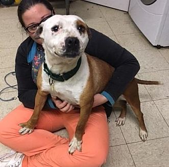 Terrier (Unknown Type, Medium)/American Pit Bull Terrier Mix Dog for adoption in Fulton, Missouri - Myrtle- Ohio