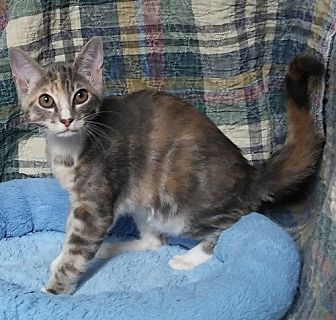 Domestic Shorthair Cat for adoption in Dallas, Texas - ADDIE