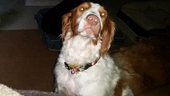 Brittany Dog for adoption in Jackson, Mississippi - TX/Bandit