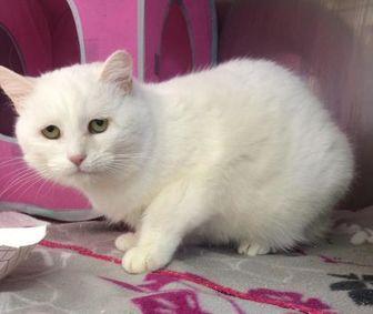 Domestic Mediumhair/Domestic Shorthair Mix Cat for adoption in Calais, Maine - Winter